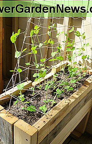 Patio grown Alaskan Early peas 2013. The trellis pictured was made from hemp twine to ensure strength and durability without the bulkiness.