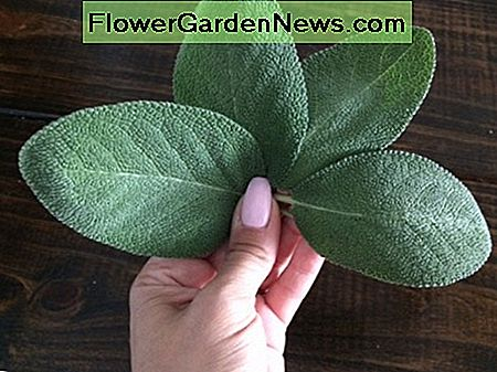 Large culinary sage leaves of the Berggarten variety grown in my Florida herb garden.
