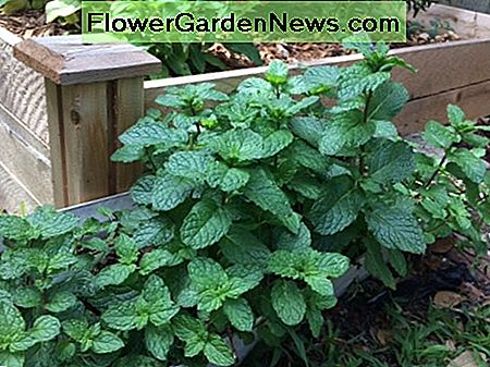 Mint growing in a container next to my Florida herb garden.