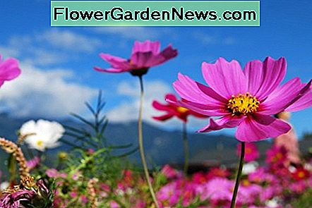 Cosmos are a bright and fun addition to your butterfly garden and serve as a nectar source.