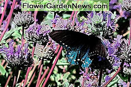 5 Essential Nectar Source Plants för Florida Butterfly Garden