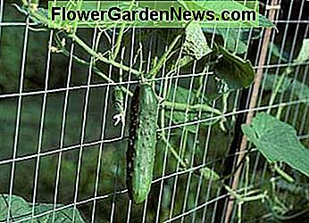Cucumbers growing on a fence. This is a great way to grow them—they have support to grow up and are easy to pick.