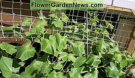 Cucumbers will grow much better vertically than they ever will on the ground.