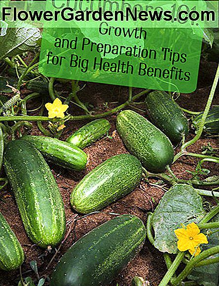Cucumbers grown in a home garden can be eaten raw or pickled. Be careful, however, if yours are allowed to grow on the ground. Mildew and disease are more common.