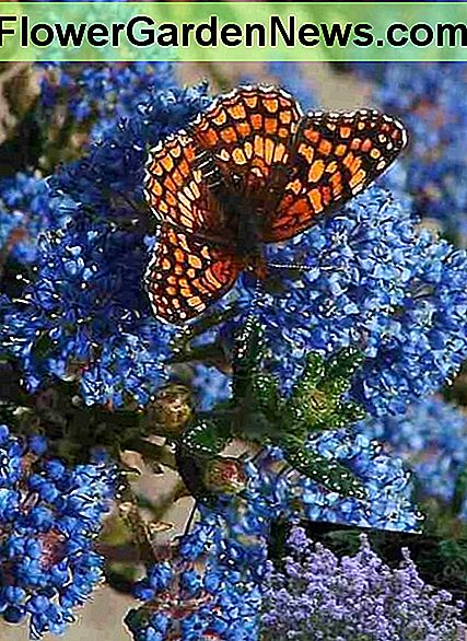 The ceanothus Julia Phelps shrub is a magnet for butterflies with its showy dark blue-purple flowers. The entire plant appears purple in the spring as the flowers emerge and it can reach heights up to six feet.