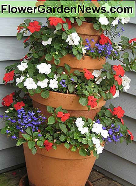 Blue Lobelia and Impatiens in a patriotic red, white and blue display in the shade.