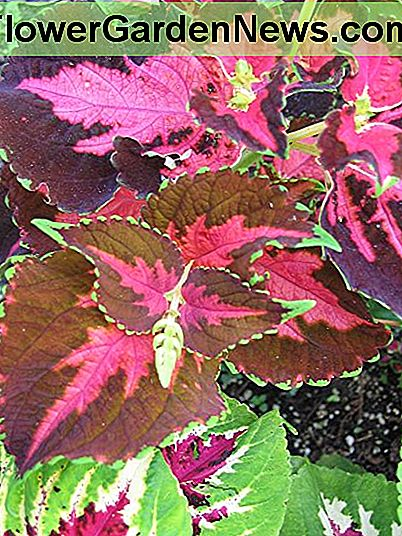 Coleus can give a punch of color to the shade garden not from its flowers, but from its leaves.
