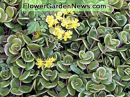 This is a Chinese variety, called sedum tetractinum.