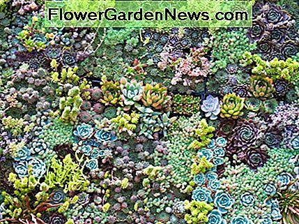 Sedum makes a beautiful groundcover plant, and the colors from which to choose are endless.