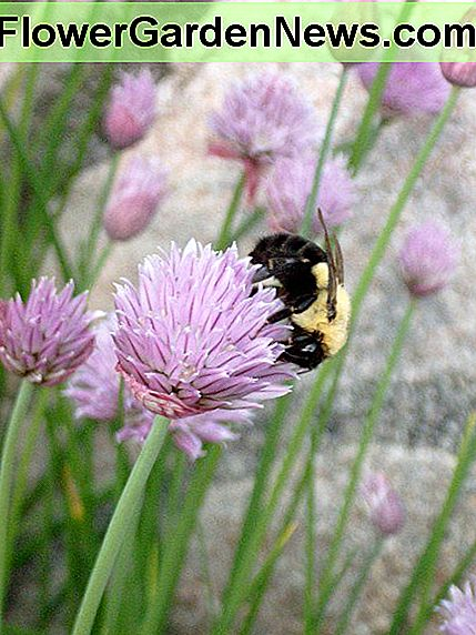 Chive flowers encourage bees to visit your garden.