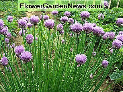 The chive plant and its flowers make a stunning display in the perennial garden.