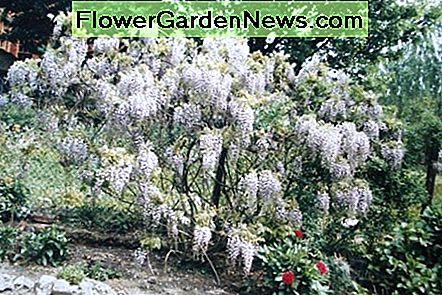 White-flowering form of wisteria