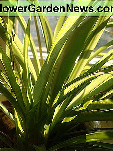 The spider plant does well in almost any indoor light intensity.