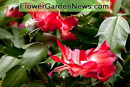 The Christmas cactus blooms profusely indoors in winter after a summer outdoors.