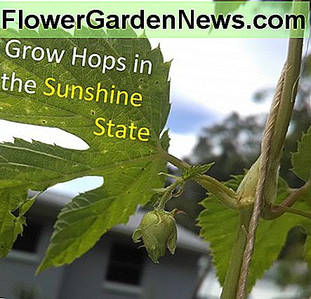 Yes! You can Grow Hops in Florida (zone 9b) for home-brewed beer.