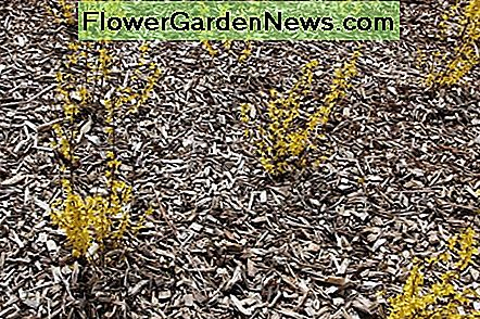 Wood chip mulch