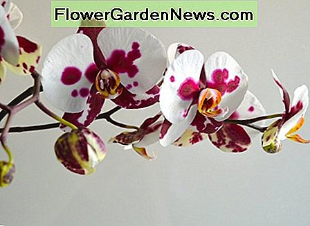 Basic Orchid Care: Hur man fixar en Broken Orchid Stem