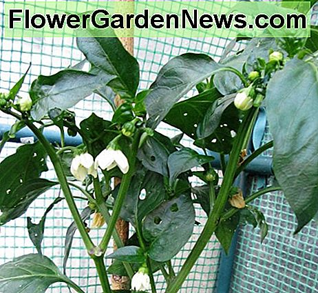 Flowers on Pepper Plants