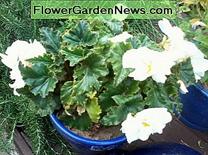 Look at this begonia now!