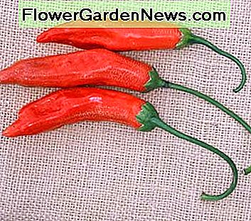 Aji Red - very hot 3 to 5-inch orange-red peppers that are generally dried into powder for use in sauces and stews. A Capsicum baccatum type with 30, 000 to 50, 000 Scoville units