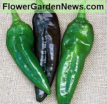 Ahaheim - Also know as the 'New Mexican Chile, ' this moderately pungent fruit is deep green, but turns red at full maturity. Very smooth peppers are 7-1/2 inches long and 2 inches wide and borne on tall, productive plants that offer good foliage cove