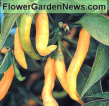 Golden Cayenne - Beautiful clear lemon-yellow cayenne peppers really load up on compact plants. Slightly curved peppers become about 4 inches long and 1/2 inch wide. This is an unusual color in a hot pepper