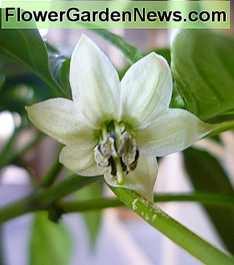 Poblano Pepper Flower.