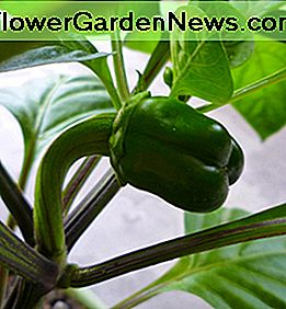 Growing Green Bell Pepper. When ripe, this fruit will turn orange.