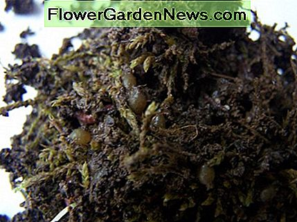 Red wiggler worm eggs in moss balls.