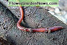 Eisenia foetida, the red wiggler worm, is a voracious decomposer. It prefers organic material over soil.