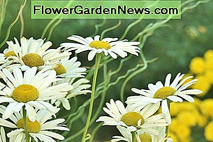 Hardy bloomers with strong stalks, Montauk daisies are deer resistant.