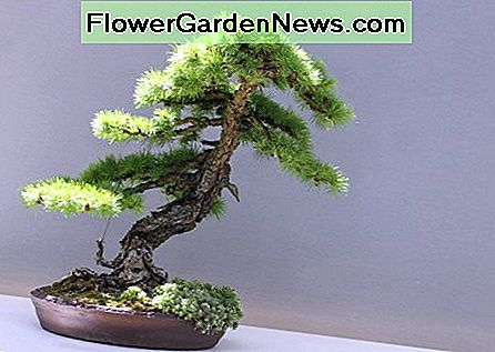 Hur man tar hand om ett Bonsai Tree