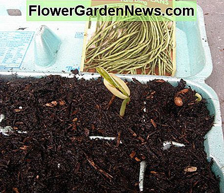 I used recycled egg cartons as seedling starters. They sprouted very quickly.