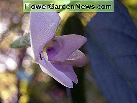 The bean blossoms are pinkish-lavender in color and larger than most other bean flowers.