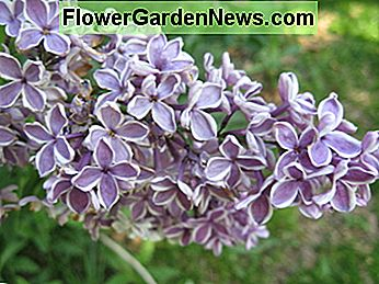 White-edged purple lilac