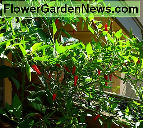 One of the pequin pepper plants loaded with ripe chillies. Notice the chillies are pointed down on this particular plant.