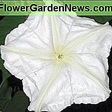 Moonflowers - Night Blooming Plants