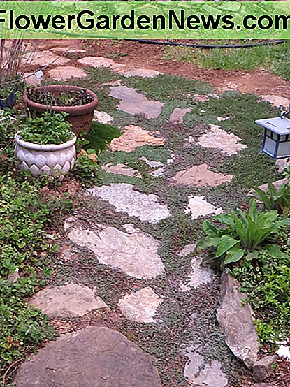 Thyme is perfect for filling in spots between flagstones in a pathway. It doesn't need to be mowed, and when in bloom will accent the path nicely.