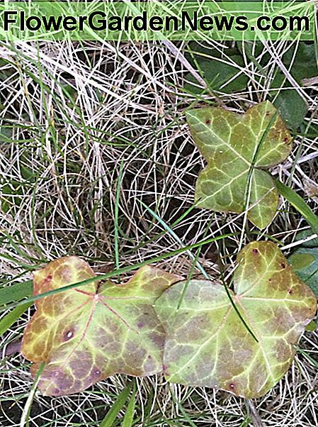 Variegated English ivy leaves