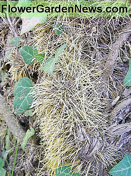 English ivy roots