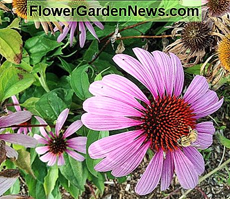 A bee on a purple coneflower