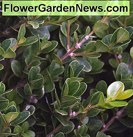 Boxwood is an example of a broad leaf evergreen.