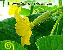 The female cucumber flower.