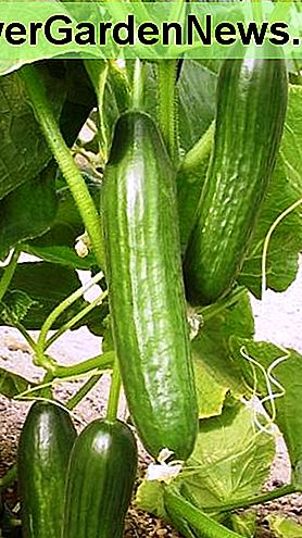 Get a bountiful crop of cucumbers: hand-pollinate.