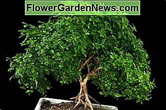 Inomhus Bonsai Tree Care Guide