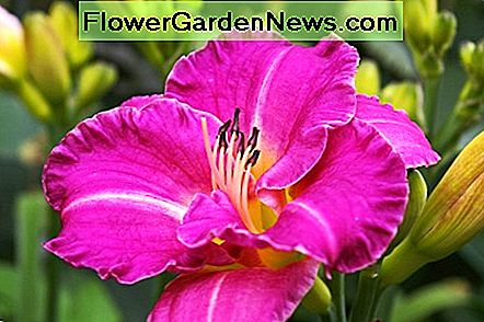 Easy Rewarding Daylilies to Grow