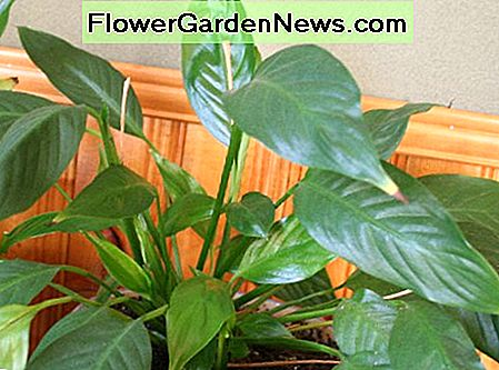 Spathiphyllum or