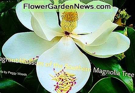Southern Magnolia Tree Fakta i Deep South Landscapes