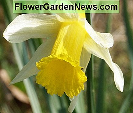 Daffodils repel unwanted animals, and can protect your other flowers from their untimely demise.