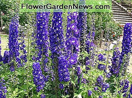 Delphiniums are a beautiful and tall summer flower that enjoys the heat that June, July, and August bring.